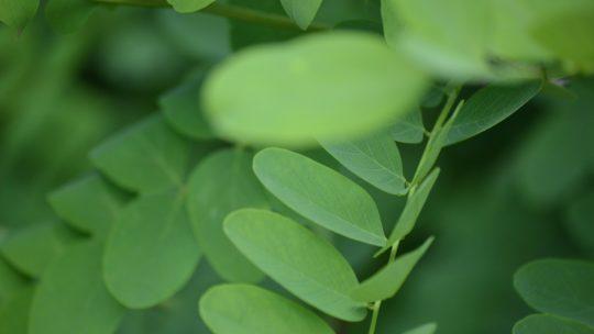 Moringa Oleifera; Propiedades y Contraindicaciones